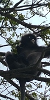 """singe avec des """"cheveux"""""""