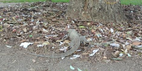 Rencontre avec un iguane