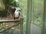 L'aigle à tête blanche, un des symboles de la Malaisie.