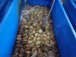 Petites huîtres!!!
