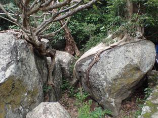 Un arbre a fondu sur un rocher????