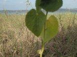 Simon notre sentimental a trouvé des feuilles en forme de cœur.....