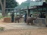 Refuge qui recueille des éléphants blessés qui sont réintroduits dans la nature ensuite.