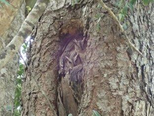 Deux bébés hiboux au creux d'un arbre.