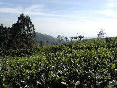 Et c'est parti pour une descente à travers les champs de thé.
