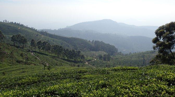 Champs de thé – Sri Lanka