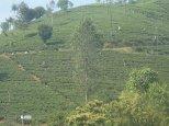 Avec ses vues magnifiques sur les cueilleuses de thé à flanc de colline.