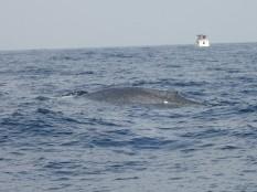 Des baleines bleues.