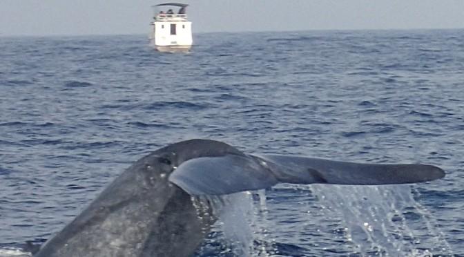 Baleine bleue dans l'océan indien