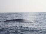 Le plus gros animal vivant : 170 tonnes et 30 M de long. Unique.