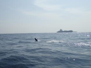 Des dauphins de Risso.