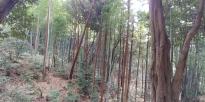 Balade de 3h00 ds la colline et ses bambous.