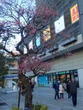 Début de floraison mais on aura raté les cerisiers en fleur.