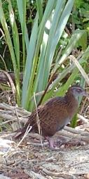 Ainsi qu'une espèce de grosse poule. Le weka.