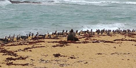 Waipapa Point . On a eu la chance de voir un superbe éléphant de mer escorté d'une nuée de cormorans.
