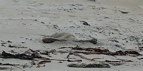 Bon début, un éléphant de mer dort au milieu de la plage.