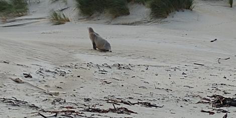 Puis un 2ème sort de l'eau devant nous et se réfugie ds les dunes.
