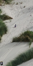 Et terrible en repartant, à l'autre bout de la plage un 2ème sort de l'eau et grimpe la dune. Trop mignon.