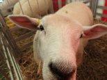 D'expo et de vente de superbes moutons.