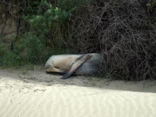 Et qd même un éléphant de mer qui s'abrite du vent.
