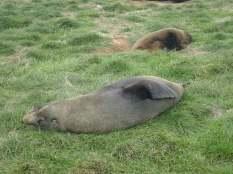 Mais là surprise, des otaries partout sur l'herbe ou on se balade.
