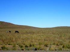 Où l'on croise des vaches, des ânes, des guanacos à l'état semi-sauvage.