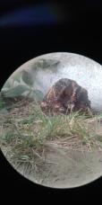 Un oiseau nocturne qui couve son œuf.