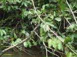 Bébé anaconda sur sa branche, ça commence bien!!
