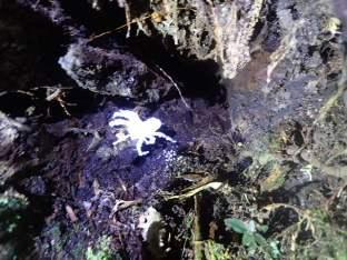 Araignée gangrénée par un parasite.