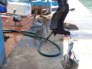 Entre les pélicans, les frégates, les hérons, les otaries et les iguanes pour récupérer un bout de poisson!!!