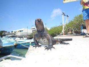 De gros pépères ces iguanes.