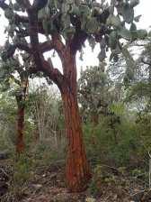 Les cactus qui deviennent des arbres avec un tronc en bois.