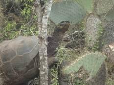 Rencontre avec une énorme tortue déjeunant sur le bord du chemin.