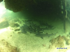 Ds le fond d'une grotte une douzaine de requins.