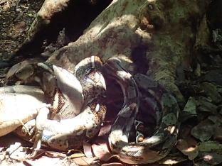 Un boa constrictor en train d'avaler un iguane.