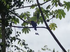 Le motmot, oiseau déjà rencontré au Nicaragua d'où il était l'emblème.