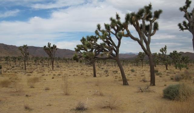 Divins Joshua Trees