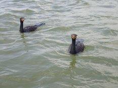 Je n'avais jamais vu de cormorans d'aussi près.