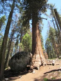Ces arbres millénaires qui se nourrissent des incendies pour vivre.